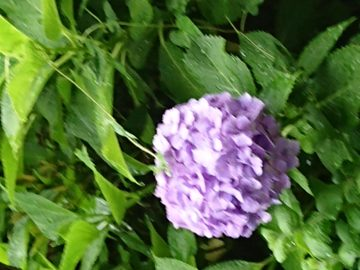 紫陽花が色づいてきましたの画像