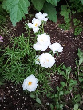 梅雨の晴れ間、松葉ボタンが鮮やかに咲いています。の画像