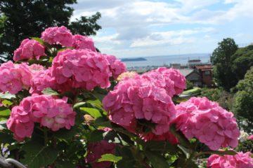 西浦温泉の紫陽花の画像