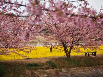 河津桜in浜松の画像